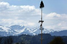 May 1, 2012. A young man climbs a 30 meter high May pole in Petersthal, Germany.