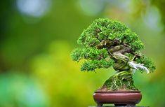 Amazing mini bonsai! shimpaku