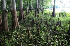 Cypress Knees, Floirda