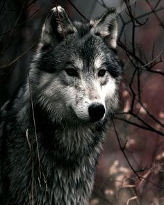 Ik ben altijd onder de indruk van de intense blik van een wolf