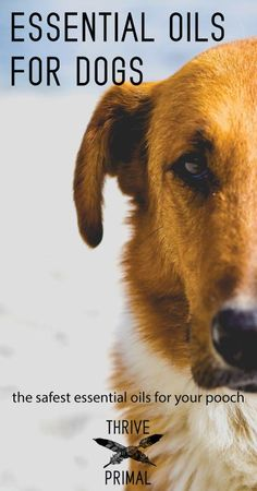 Wondering about natural remedies for you dog? Essential oils provide some of the best solutions to your dog's health problems, without all the nasty side effects from vet-prescribed drugs.