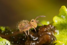 superbnature:  Springtail (Collembola) by Moneycue