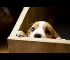 Peek~a~boo!!   (KO) Sweet puppy face. If only they could stay puppies for a much longer time! Sweet baby.
