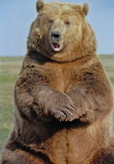 View top-quality stock photos of Grizzly Bear. Find premium, high-resolution stock photography at Getty Images. Animals And Pets, Funny Animals, Cute Animals, Love Bear, Big Bear, Bear Pictures, Animal Pictures, Bear Species, Wild Creatures