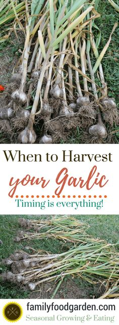 Timing is everything when harvesting garlic! Learn how to harvest garlic and how to cure garlic