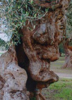 49 Besten Olivenbaum Bilder Auf Pinterest Olive Tree Old Trees