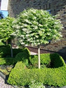 Garden Trees, Lawn And Garden, Home And Garden, Skinny Tree, Front Yard Decor, Italian Garden, Flowering Shrubs, Small Trees, Outdoor Areas