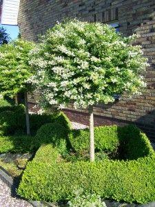Ligustrum delavayanum: Een veel gebruikte stamheester, meestal als bol op stam. Semi-bladhoudend, witbloeiend, blauwzwarte bessen. Lijkt sterk op buxus.