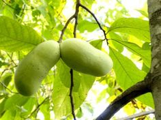 The largest edible fruit native to North America, the pawpaw will grow pretty much anywhere, although it does best in the Northeast and the Midwest. Some nutritionists and foodies think pawpaws could be the next superfood. They have 20 to 70 times as much iron, 10 times as much calcium, and 4 to 20 times as much magnesium as bananas, apples, and oranges. And research from Ohio State has found that they have antioxidant levels that rival cranberries and cherries.