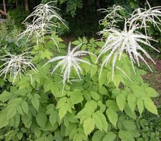 338 best perennials for zone 4 images on pinterest planting goatsbeard aruncus dioicus is a shade loving perennial that blooms in mid mightylinksfo