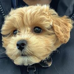 """Buddy on Instagram: """"Tucked up inside Daddys coat is one of my favourite hang out joints! 🐶❤️🐶 #furbaby #adorable #woof #maltipoo #puppy #maltipoopuppy…"""" Maltipoo, Hanging Out, Fur Babies, Daddy, Puppies, My Favorite Things, Coat, Animals, Instagram"""