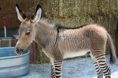 4. Male Zebra + Female Donkey = Zedonk