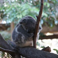 Such cuties the koalas.  Wildlife Sanctuary in Currumbin Australia.