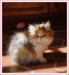 Cutest mushie-faced kitty ever - Miss.Twiggley  La Vie Quotidienne blog: