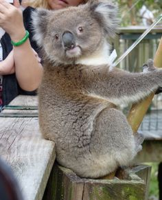 Koala greetings in Melbourne, Australia. Say Hi to the camera.