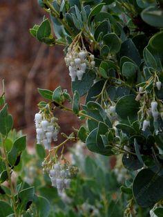 Arctostaphylos glauca, Ramona Big Berry Manzanita