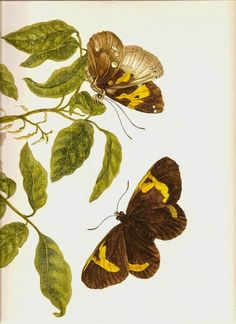 The Painted Prism: WOMEN ARTISTS: Maria Sibylla Merian