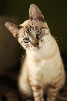 Beautiful lynx point cat