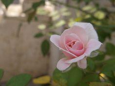 Rose Rose Beautiful Rose