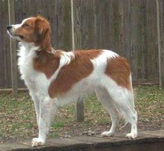 The Kooikerhondje is an old Dutch race bred to lure ducks into traps.The Kooikerhondje can be seen in paintings from the 16th and 17th centuries, but didn't become an official, recognized race until June 18, 1966.Unfortunately, by the end of World War II, when dwindling duck stocks left the Kooikerhondje out of a job, the breed almost became extinct.