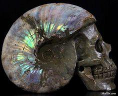 Ammonite fossil skull    In #China? Try www.importedFun.com for award winning #kid's #science  