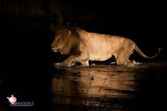 Matimba male Lion crossing the Sand River. Male Lion, Wildlife Safari, Kruger National Park, Top Destinations, Sands, South Africa, River, Animals, Animales