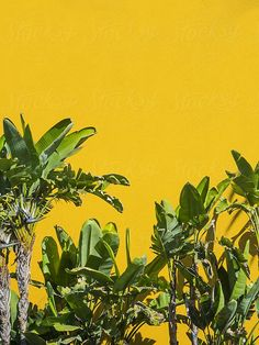 palm trees against solid yellow wall