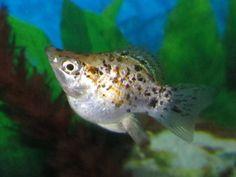 Molly Fish - The Care, Feeding and Breeding of Mollies - Aquarium ...