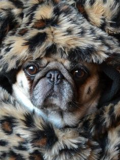 Bailey Puggins trying to stay warm in this -35°C freezing weather!