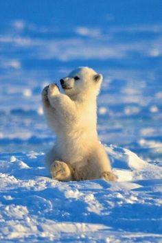 Baby polar bear cub playing in the snow Baby Animals Super Cute, Cute Little Animals, Cute Funny Animals, Baby Animals Pictures, Cute Animal Photos, Animals Dog, Baby Polar Bears, Cute Dogs And Puppies, Cute Creatures