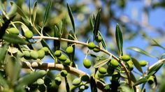 How to preserve fresh olives