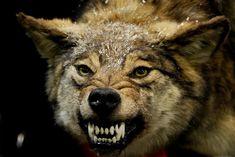 Gray Wolf Teeth | Wolf bared-teeth