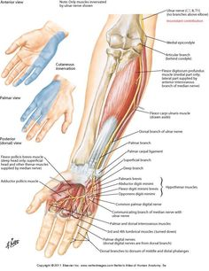 les that Move the Forearm These muscles are involved of flexion and ...