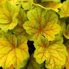 Heuchera Electra Perennial Plant 4 Inch Container Grown Organic