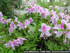 george l tabor southern indica azalea joey williamson 2006 hgic ... I have these, the flowers are huge  look like orchids,some of my favorites(and a hand-me-down from my mom)!
