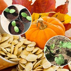 : выращивание рассады тыквы Dream Garden, Home And Garden, Country Living, Garden Design, Pumpkin, Orange, Vegetables, Sad, Garten