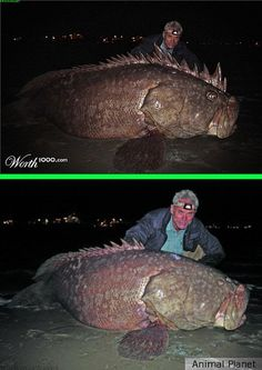 "Fake - ""Goliath, The River Monster""(Top image) contest entry at Worth1000.com by mmizerik was a 2nd place entry in Hoaxes - The bottom image is the original and shows a 350lb. Grouper caught by Animal Planets Jeremy Wade in Florida. http://youtu.be/Cyeib4L50ag"