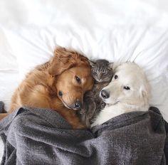 Cat: Noooo da dogs r squishing meeee Dogs: mmm...This cat so fluffy