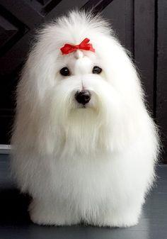 """""""Perry Ellis"""" du Castel de la Roche aux Fees.  He's a Coton de Tulear breed show dog."""