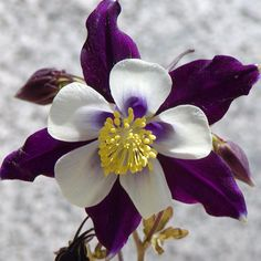 Columbine Flower Pic - Taken by sKraps by WILD Nana.