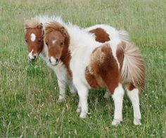shetland ponies - like the ones we had boarded on the farm. Baby Horses, Horses And Dogs, Show Horses, Mini Horses, All The Pretty Horses, Beautiful Horses, Animals Beautiful, Cute Baby Animals, Farm Animals
