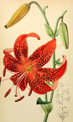 Liiy, from The florist and pomologist. 1873 - Biodiversity Heritage Library