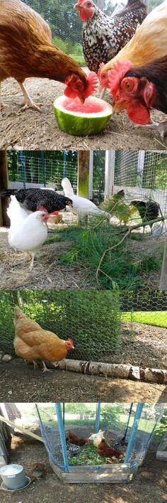 How to keep chickens happy in the winter
