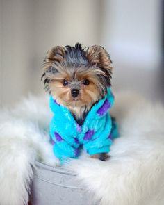 Hi furry friends! Today is a good day to be happy bad hair and all by yorkie. Cute Teacup Puppies, Teacup Yorkie, Cute Little Puppies, Cute Dogs And Puppies, Cute Little Animals, Cute Funny Animals, Baby Dogs, Bulldog Puppies, Poodle Puppies