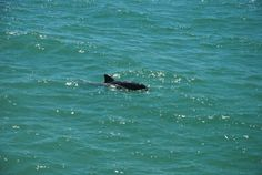 Dolphin, Naples, Florida