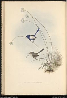 Malurus leucopterus: Quoy & Gaim. Plate from Gould, John, 1804-1881. The Birds of Australia : in seven volumes. by John Gould.