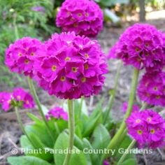 Perennials For Shade - Primula denticulata 'Rubin' in the botanical garden at Plant Paradise Country Gardens, Caledon Ontario
