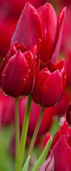 Tulipanes .
