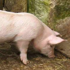 Although there is a little bit of variance as to how much meat you can expect, the cuts of meat from a pig don't change. Pig Farming, Backyard Farming, Subsistence Agriculture, Mother Earth News Fair, Country Style Ribs, Salt Pork, Beef Cattle, Wild Edibles, This Little Piggy
