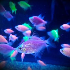 Neon fish from Walmart (plus black light). #fishes #neon #blacklight #glofish
